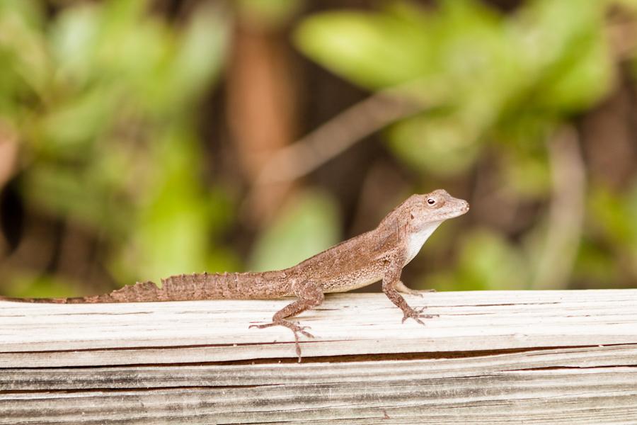 lizards in puerto rico